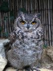 Spotted Eagle Owl-Spot