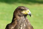 HARRIS' HAWK-NIGEL