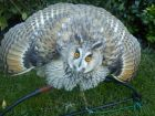 LONG EARED OWL-WALLY