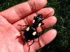 Domino Ground Beetle