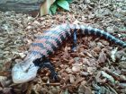 BLUE TONGUE SKINK-MR. SKINK