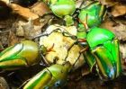 AFRICAN FRUIT BEETLES
